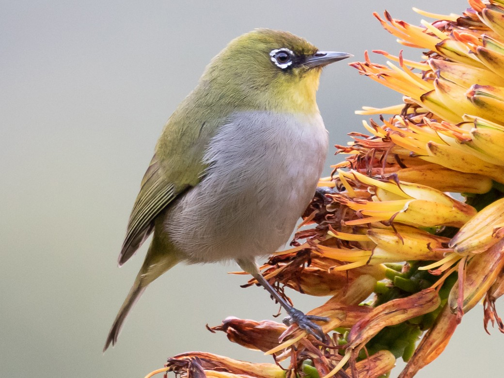 Cape White-eye - Robert Lewis