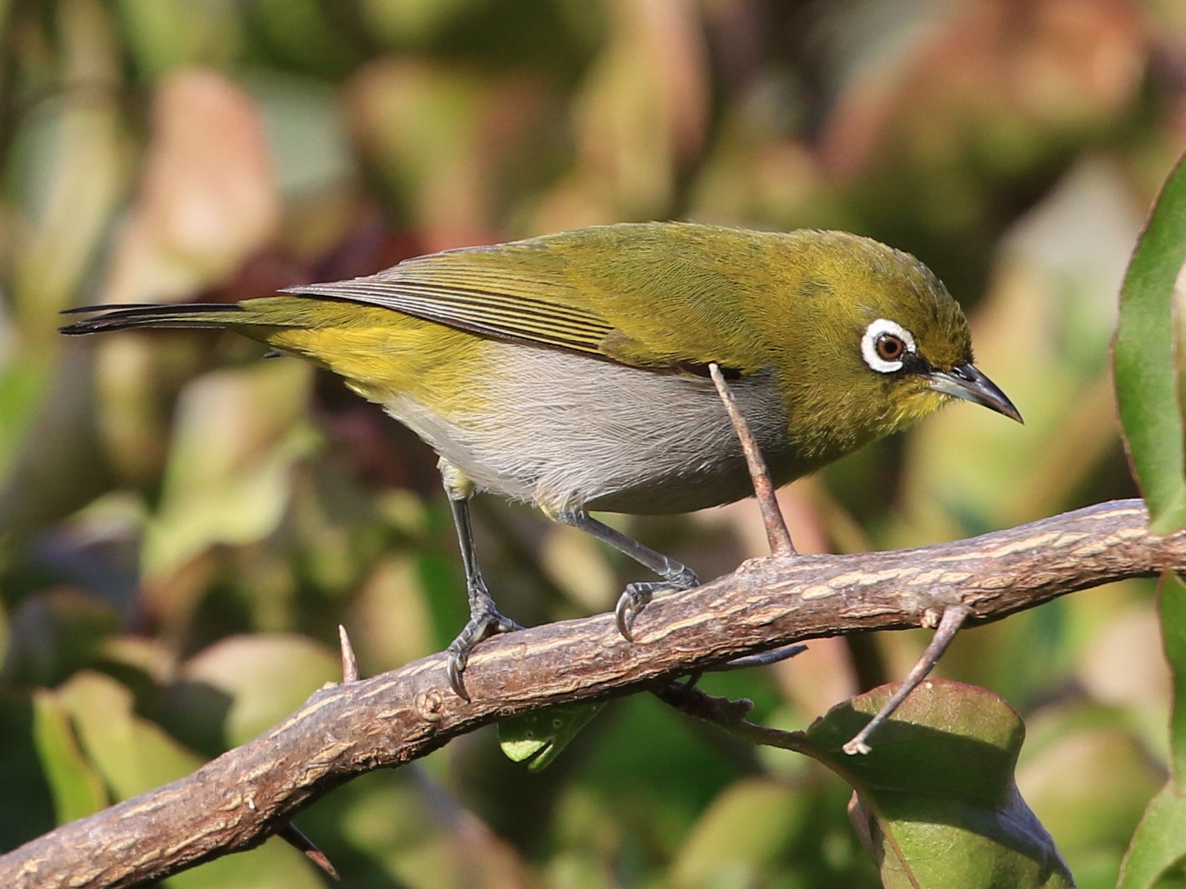 Cape White-eye - Patrick MONNEY