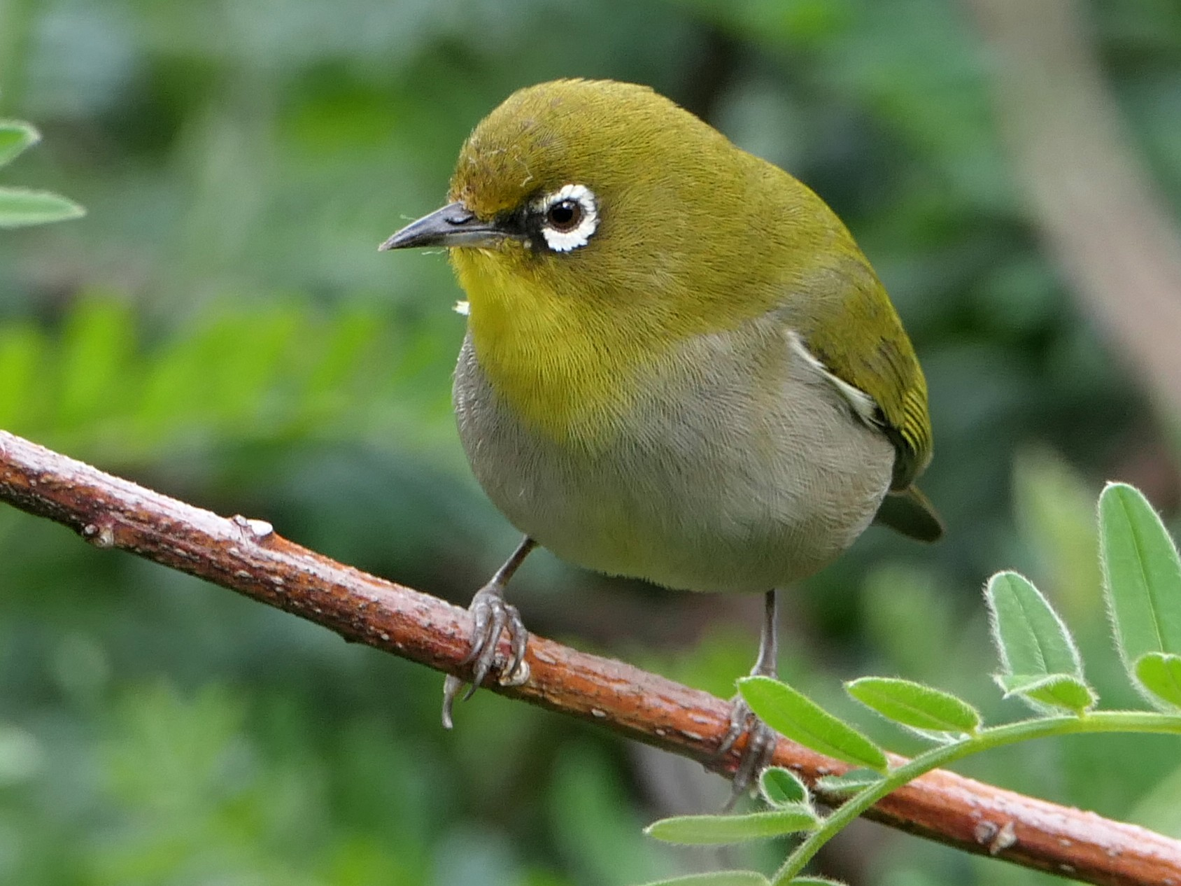 Cape White-eye - Ray Turnbull