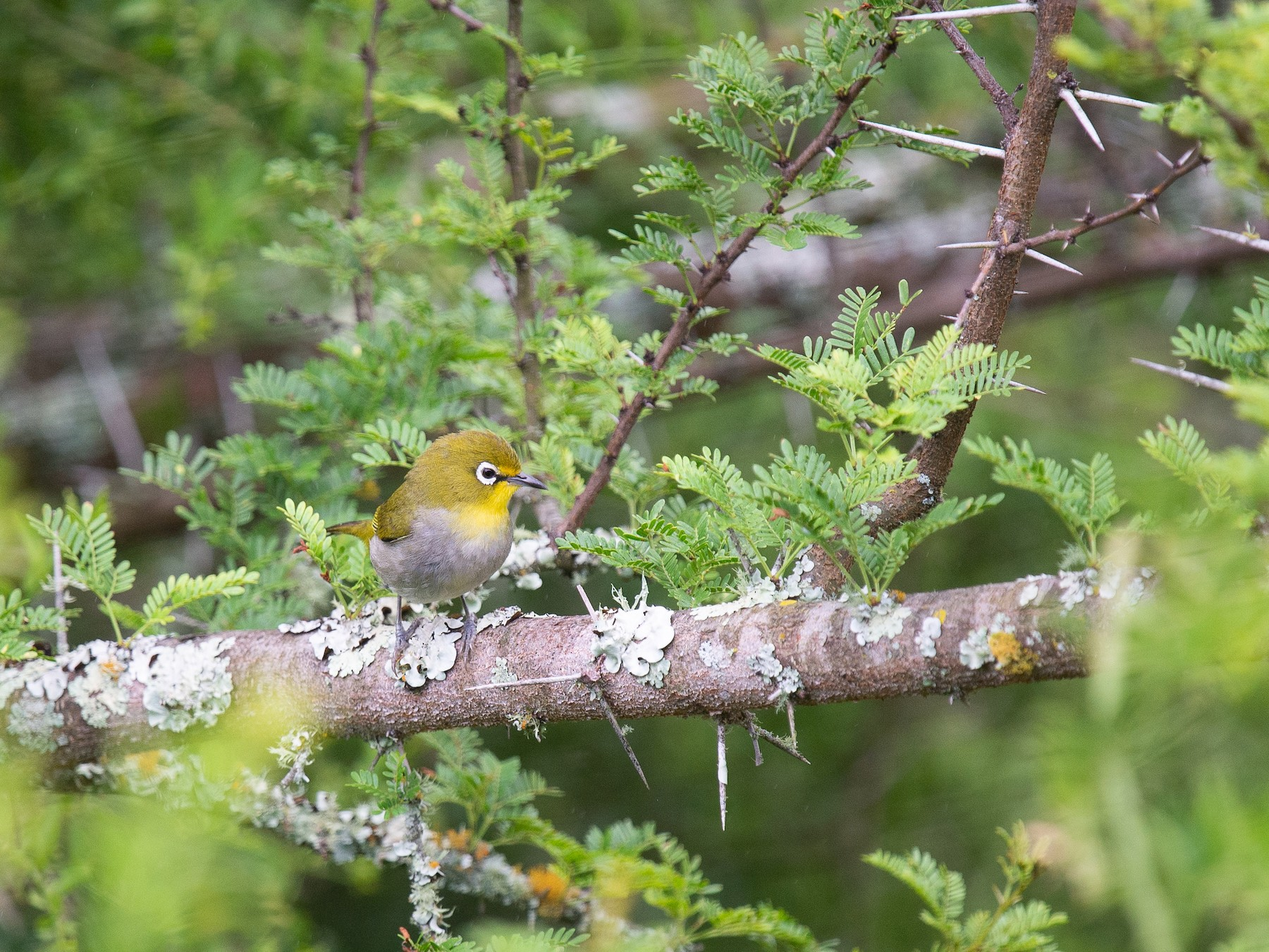 Cape White-eye - Cameryn Brock