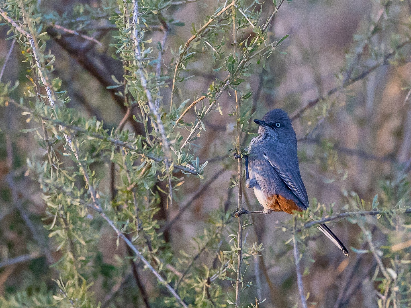Chestnut-vented Warbler - aaron evans