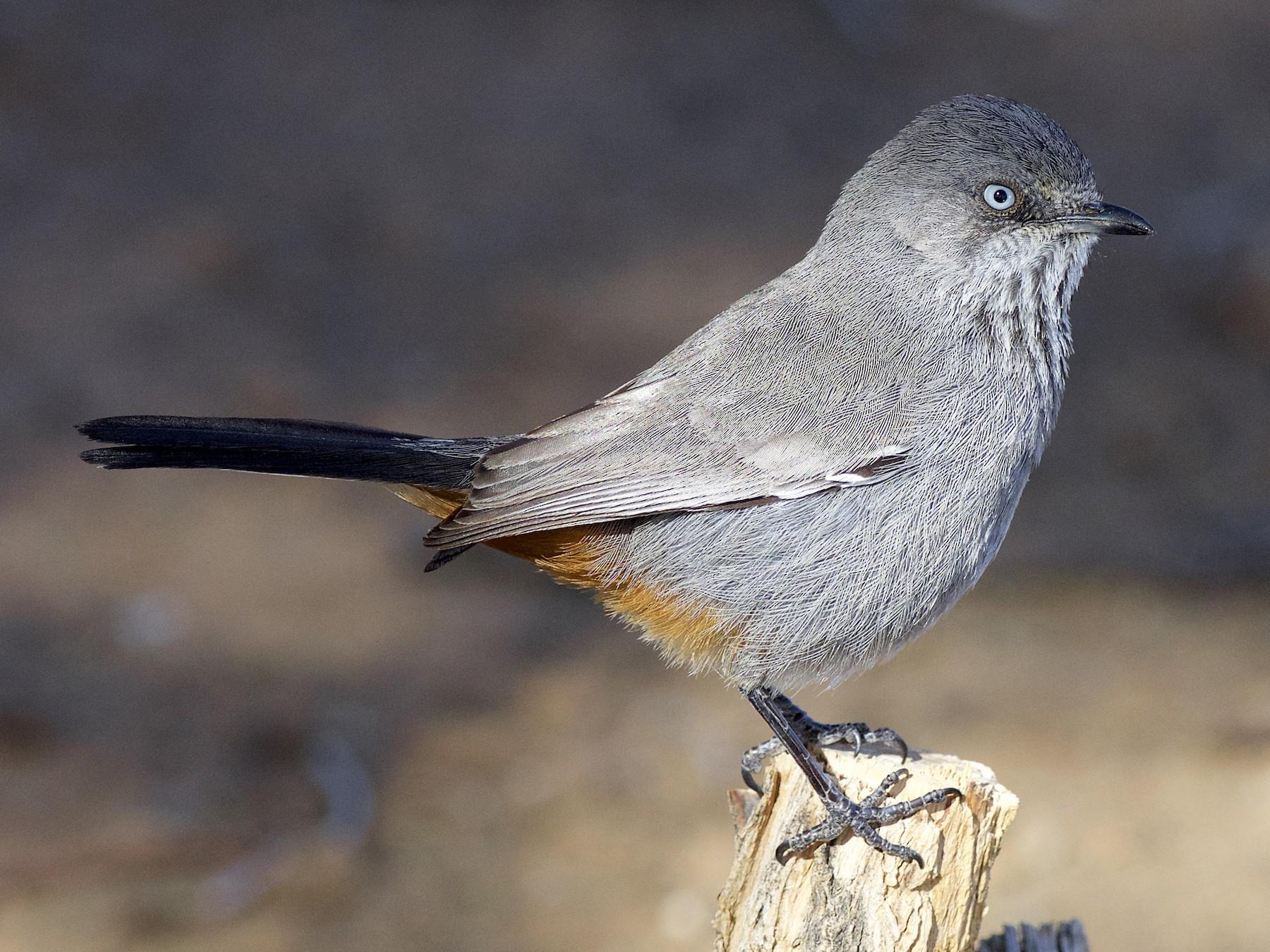 Chestnut-vented Warbler - Daniel Field
