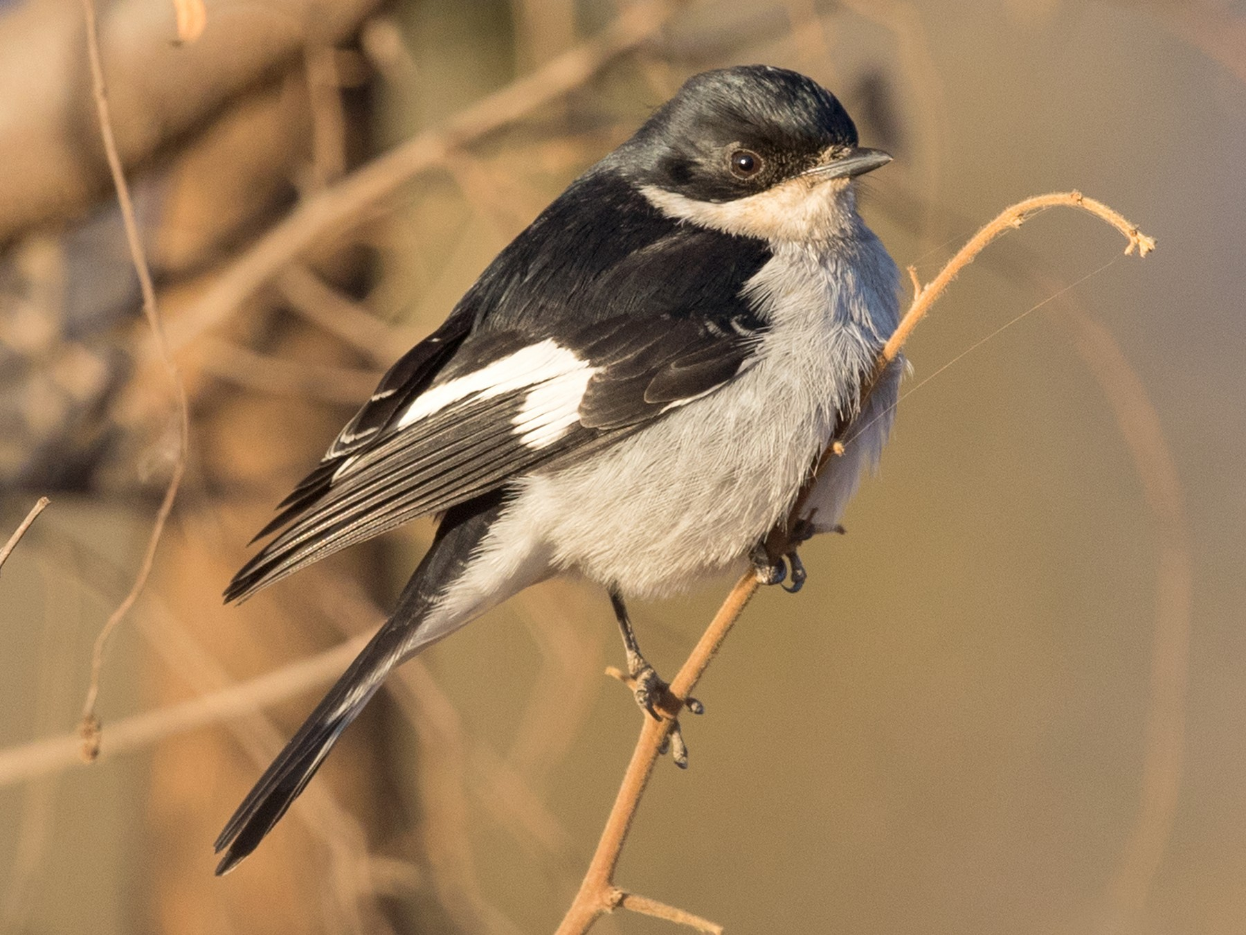 Fiscal Flycatcher - David Irving