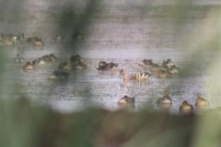 Plumed Whistling-Duck