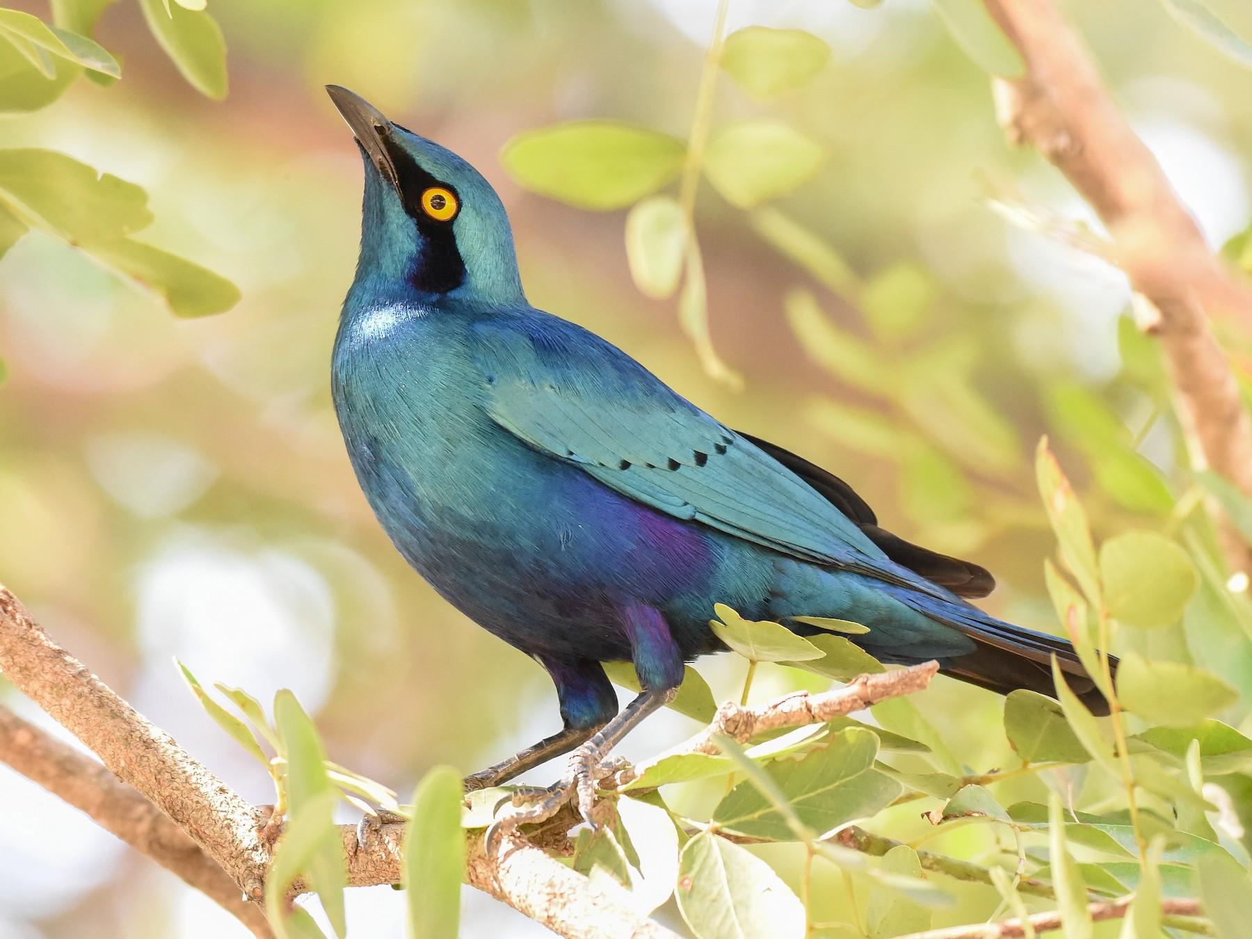 Greater Blue-eared Starling - Erik Martin