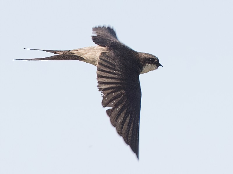 Gray-rumped Swallow - Ian Davies