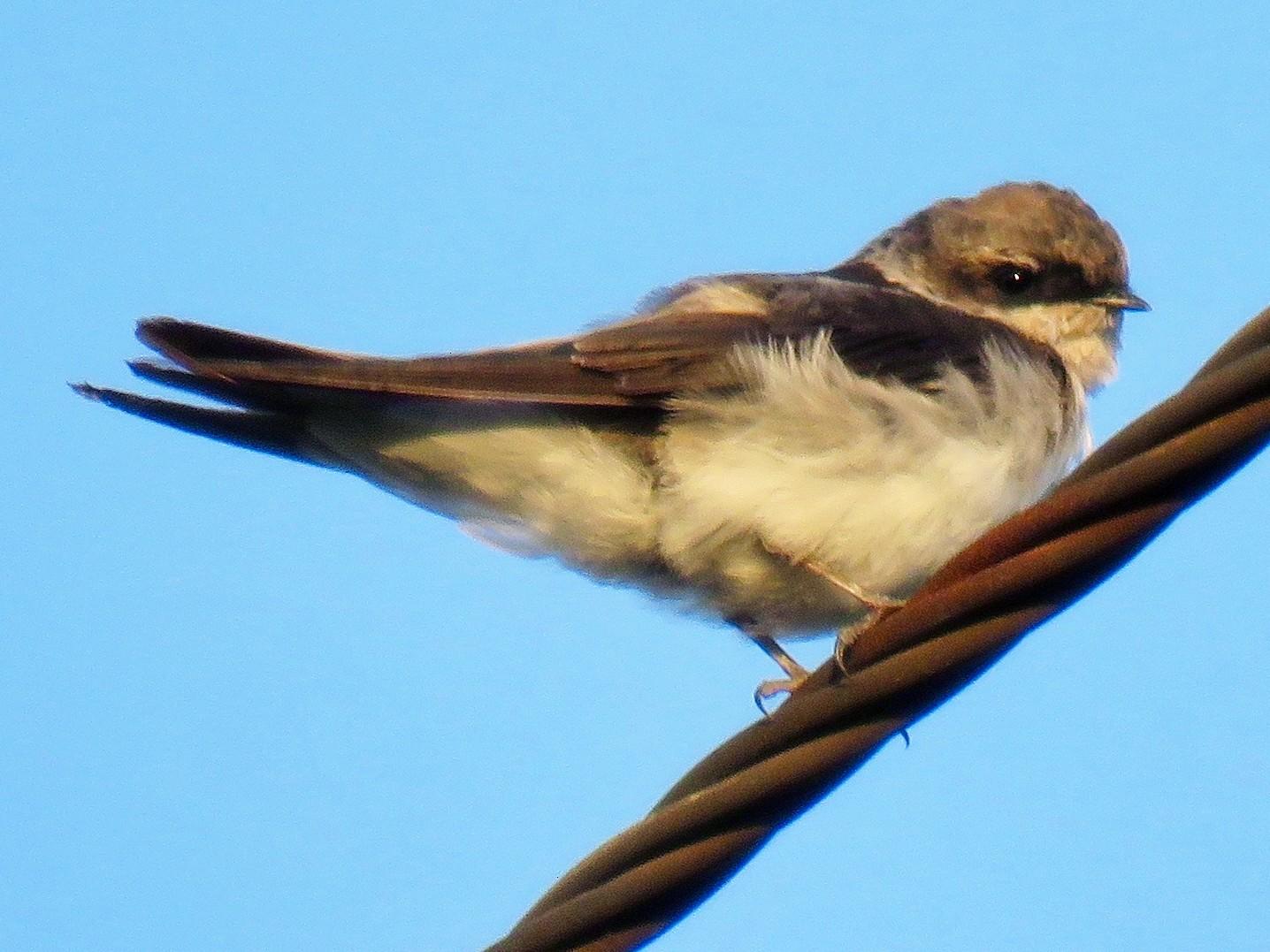 Gray-rumped Swallow - Mich Coker