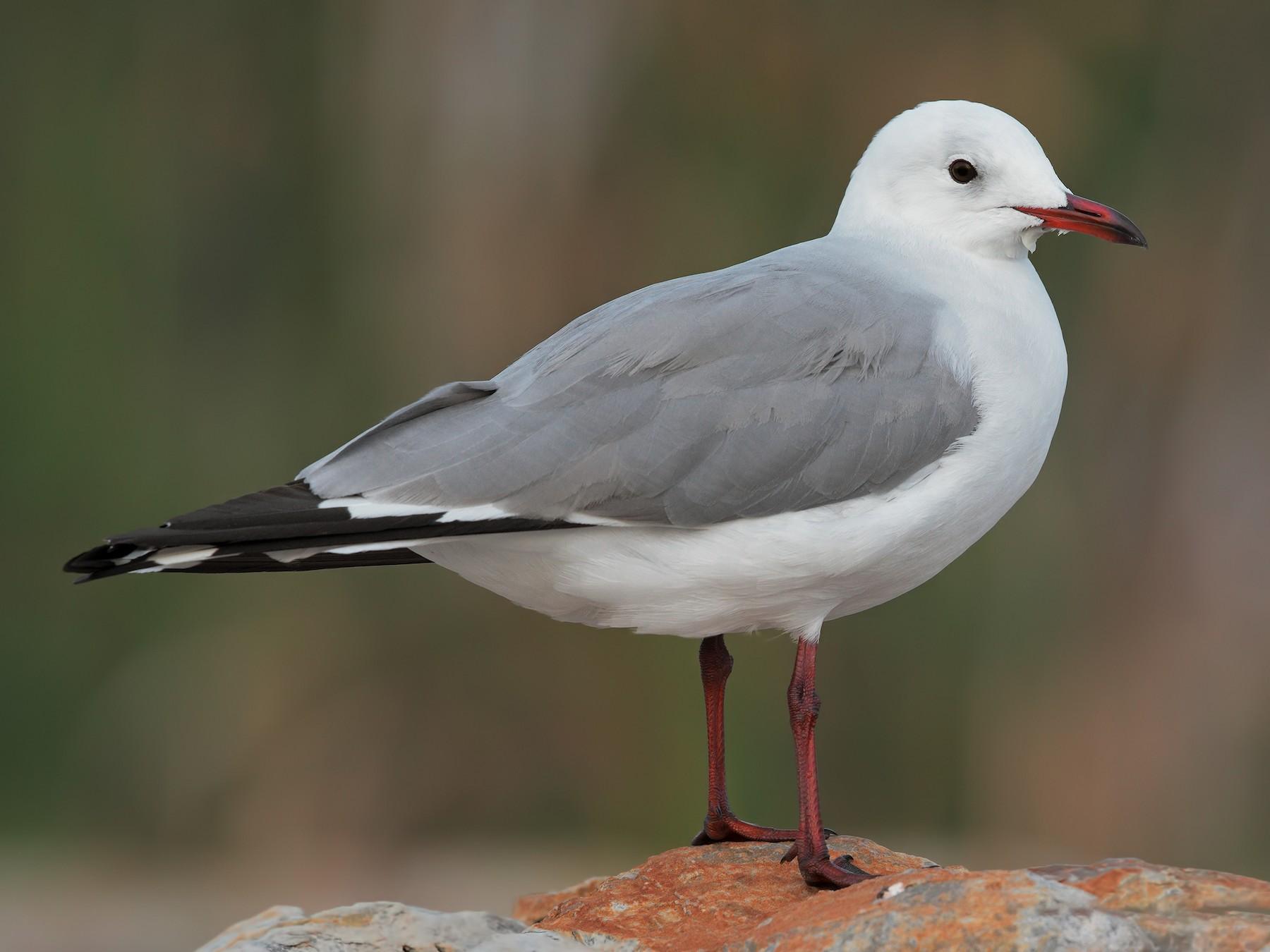 Hartlaub's Gull - Marco Valentini