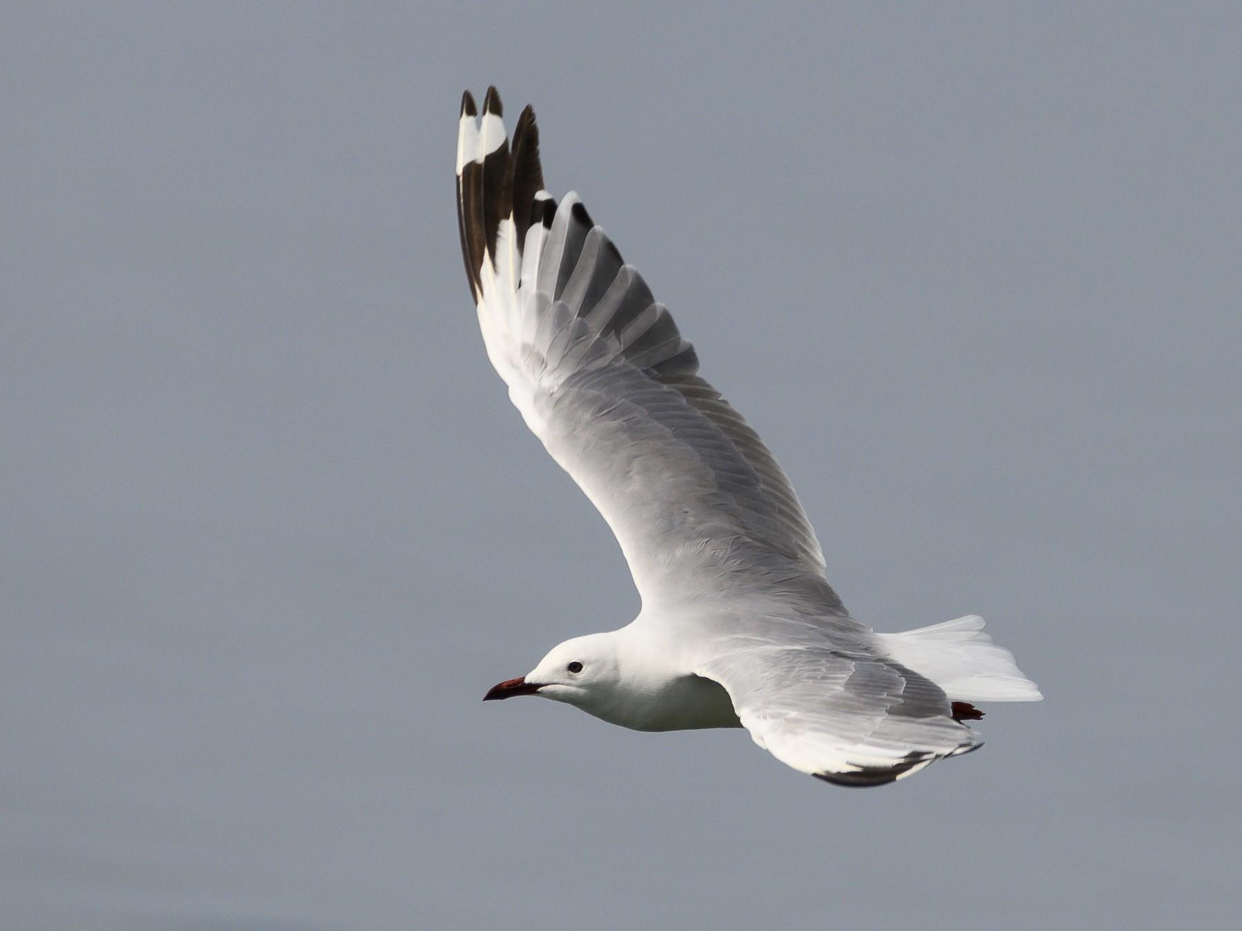 Hartlaub's Gull - Stephen Davies