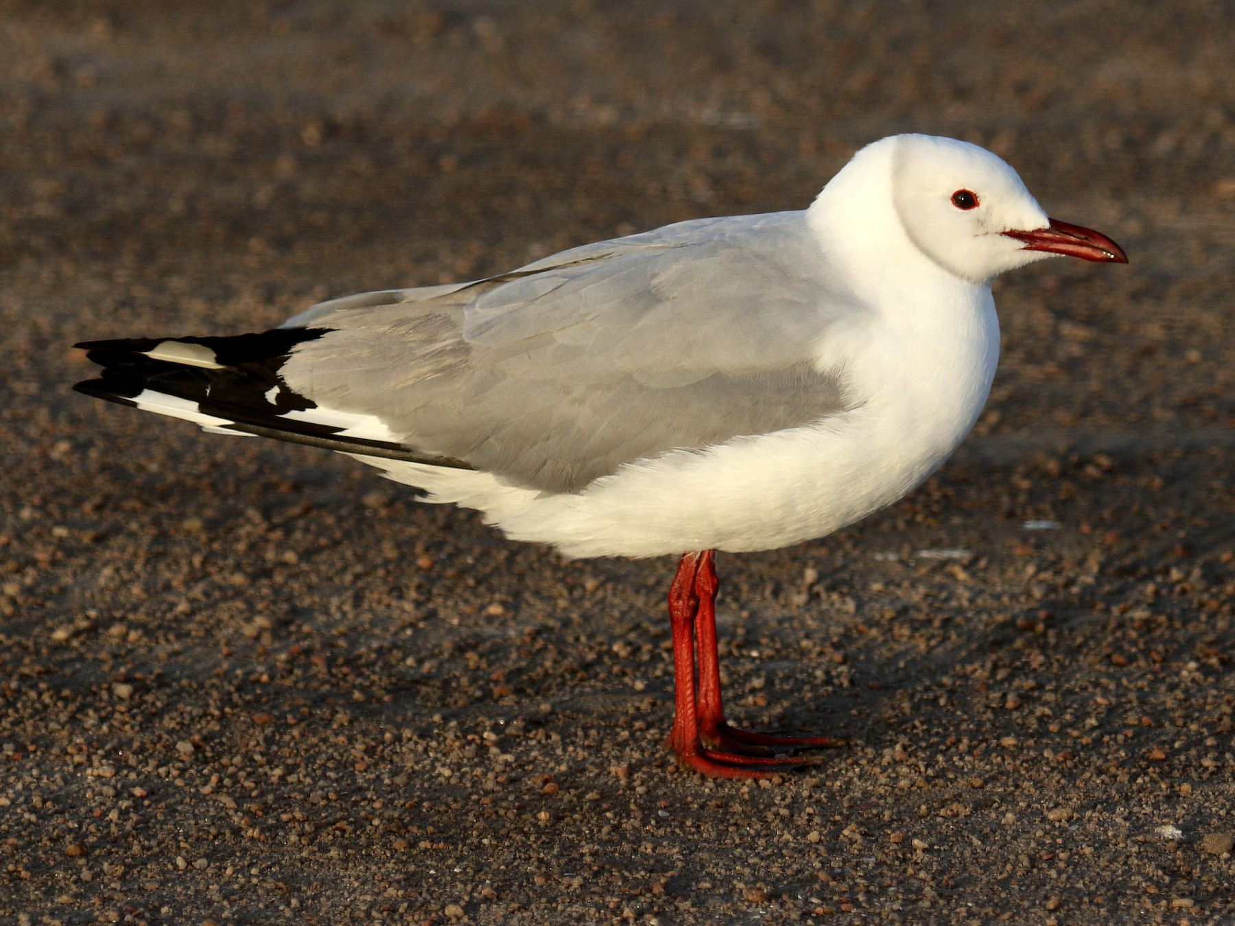 Hartlaub's Gull - Stephen Gast
