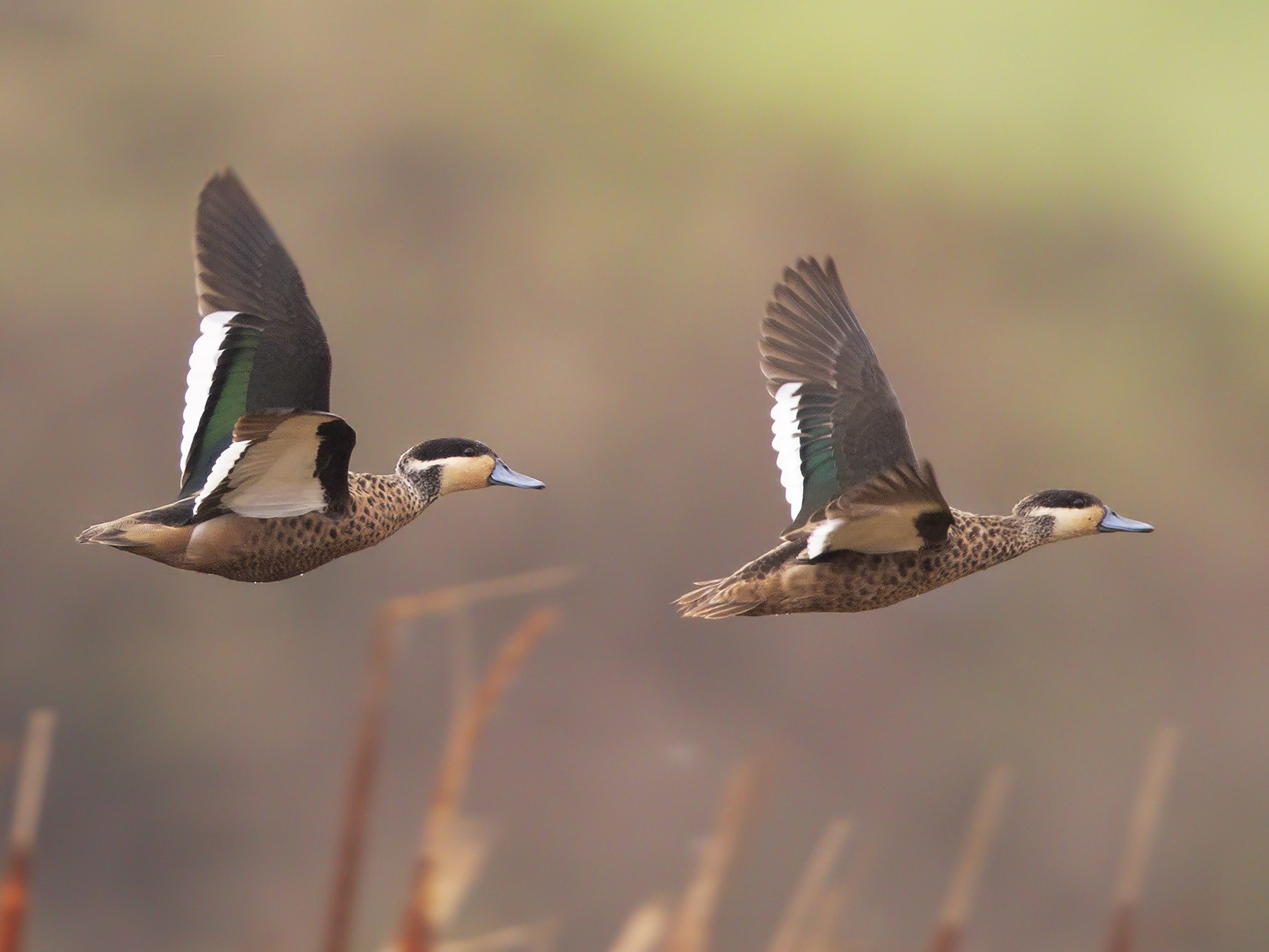 Hottentot Teal - Marco Valentini