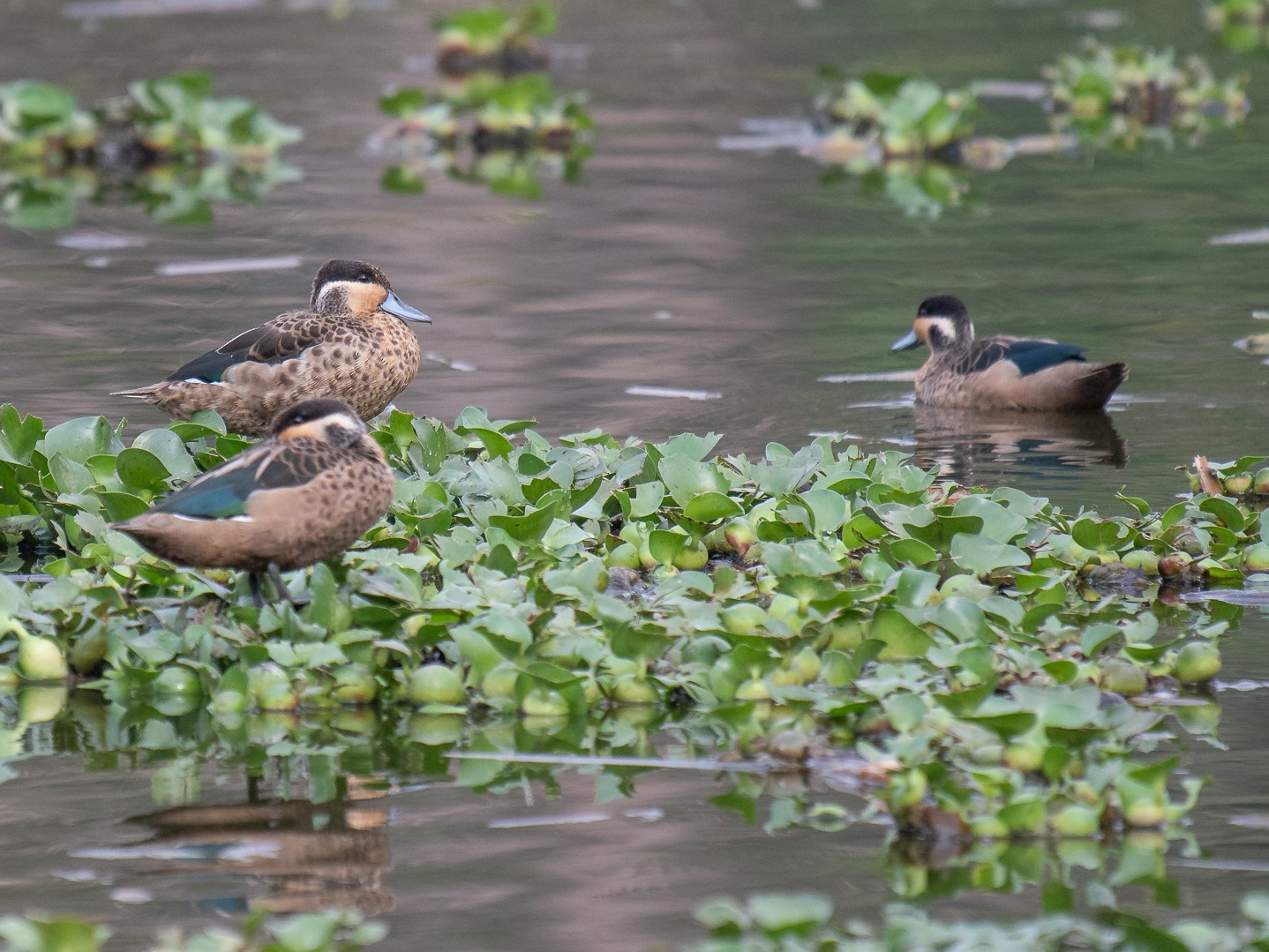 Hottentot Teal - Rob Williams