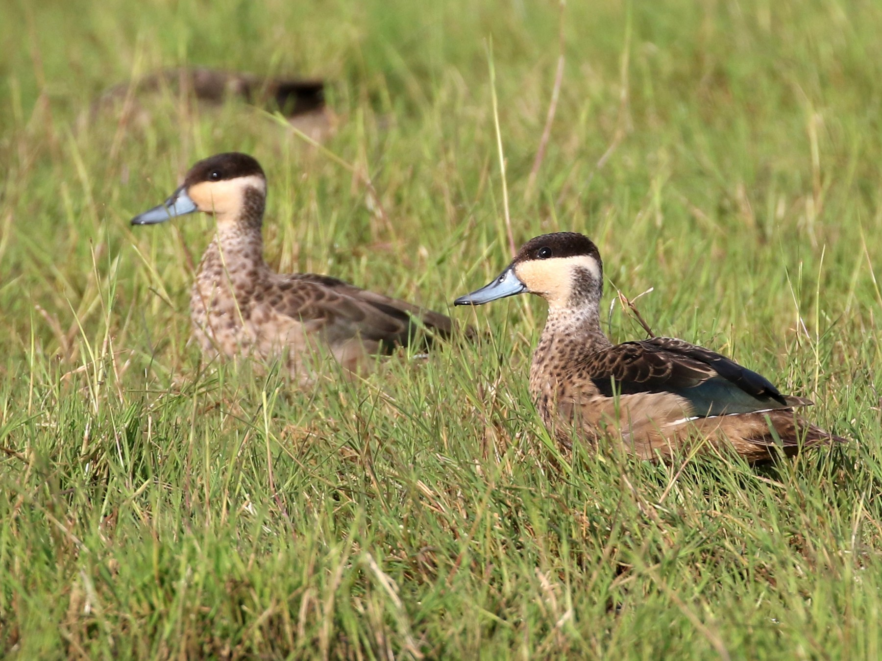 Hottentot Teal - Dave Beeke