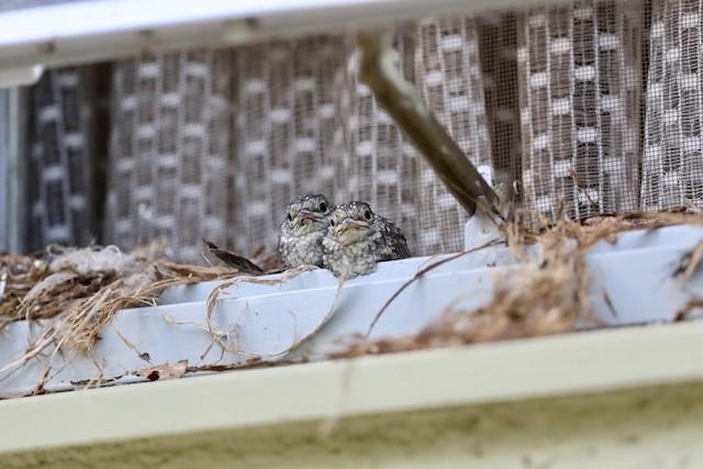 Nestling Ashy Flycatchers.