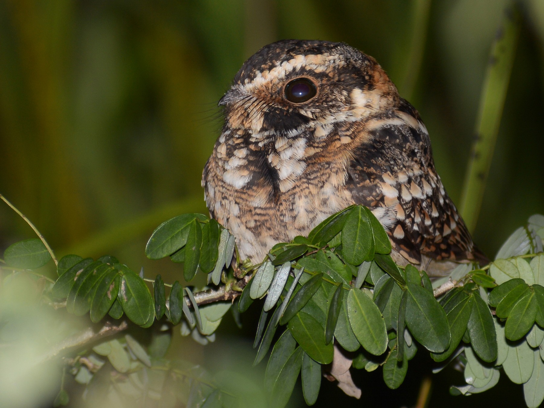 Spot-tailed Nightjar - Jorge Dangel