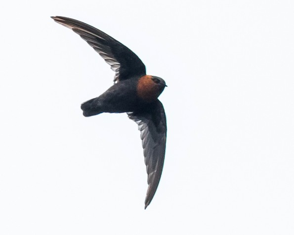 Chestnut-collared Swift - David Monroy Rengifo