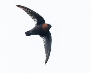 - Chestnut-collared Swift