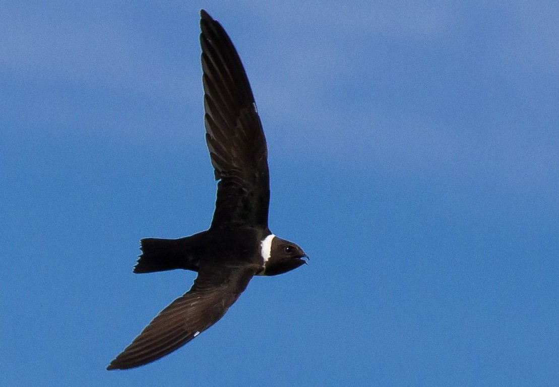 White-collared Swift - Marcos  Eugênio Birding Guide