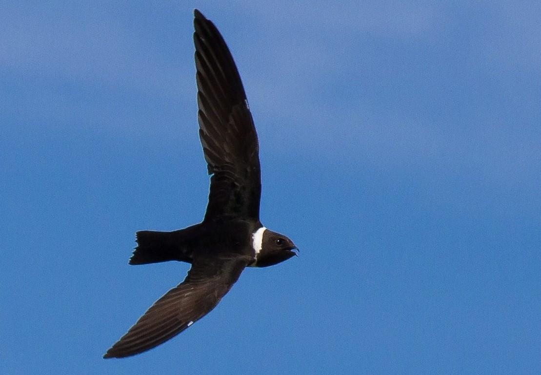 White-collared Swift - Marcos Eugênio Birding Guide