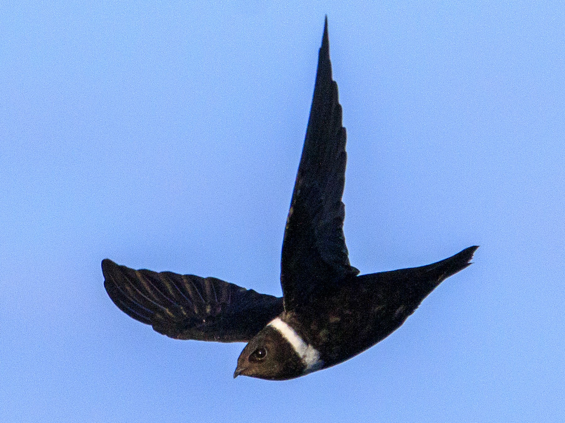 White-collared Swift - Fernando Farias