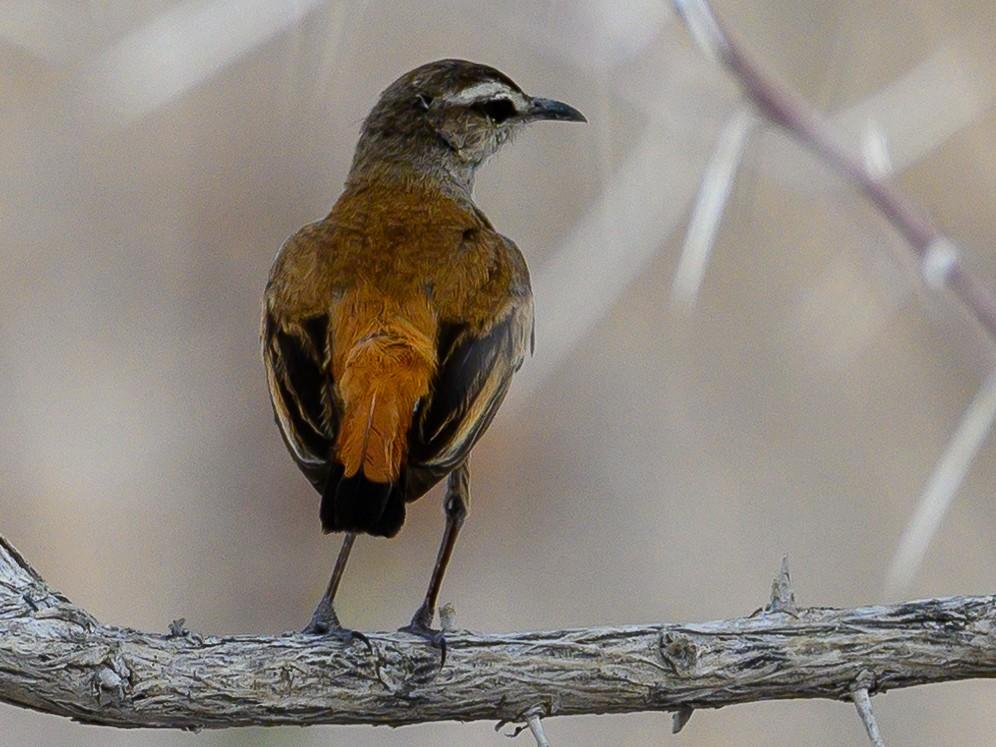 Kalahari Scrub-Robin - Stephen Davies