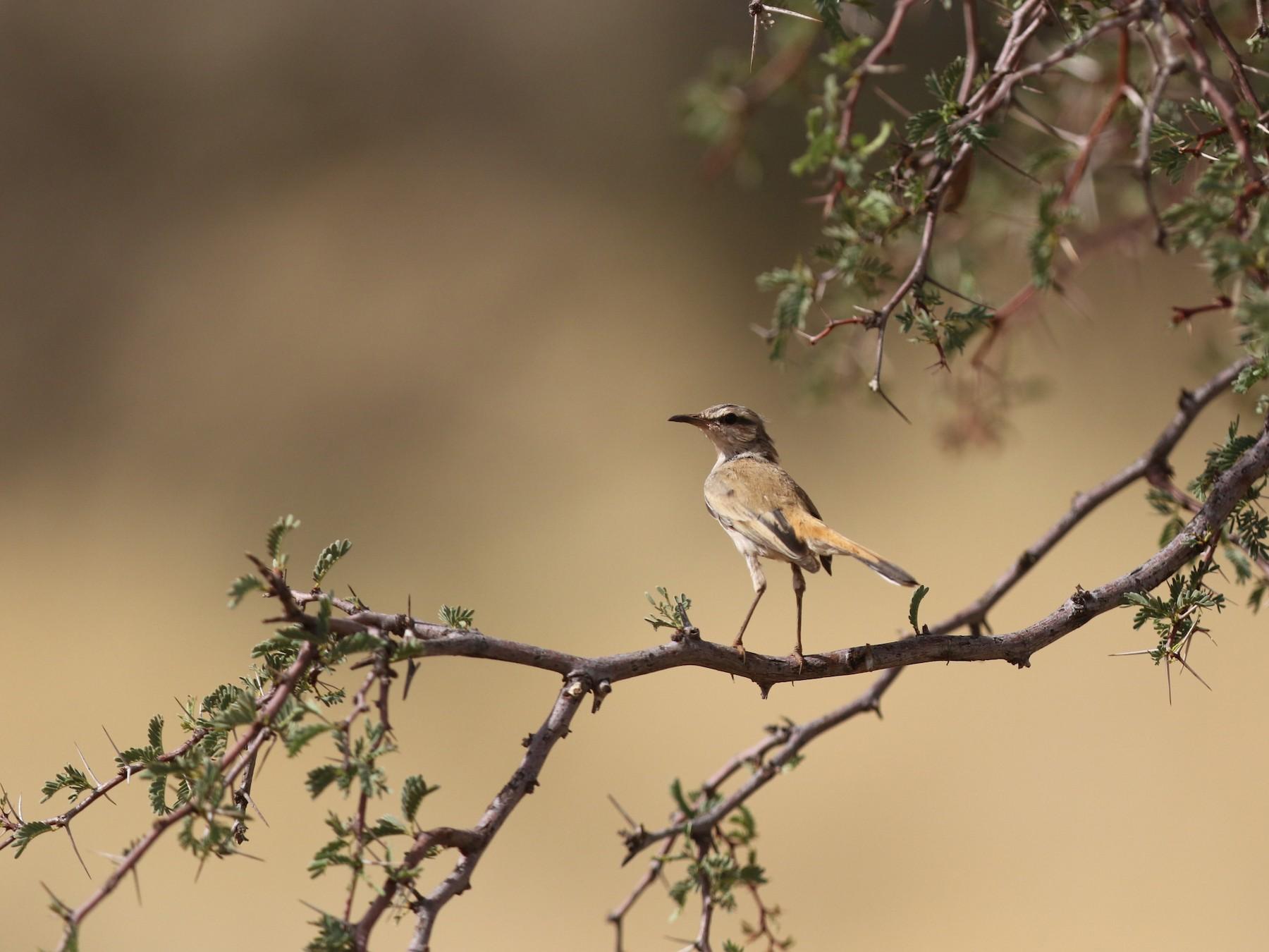 Kalahari Scrub-Robin - Krista Oswald