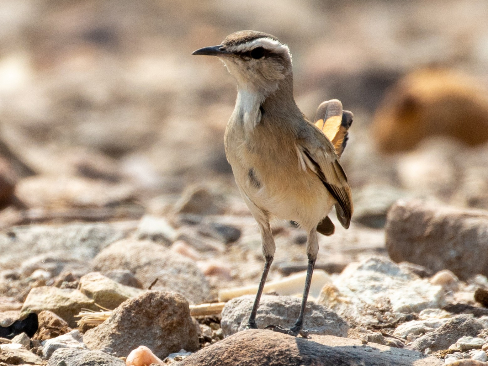 Kalahari Scrub-Robin - Mhairi McFarlane
