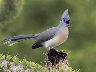 - Crested Coua
