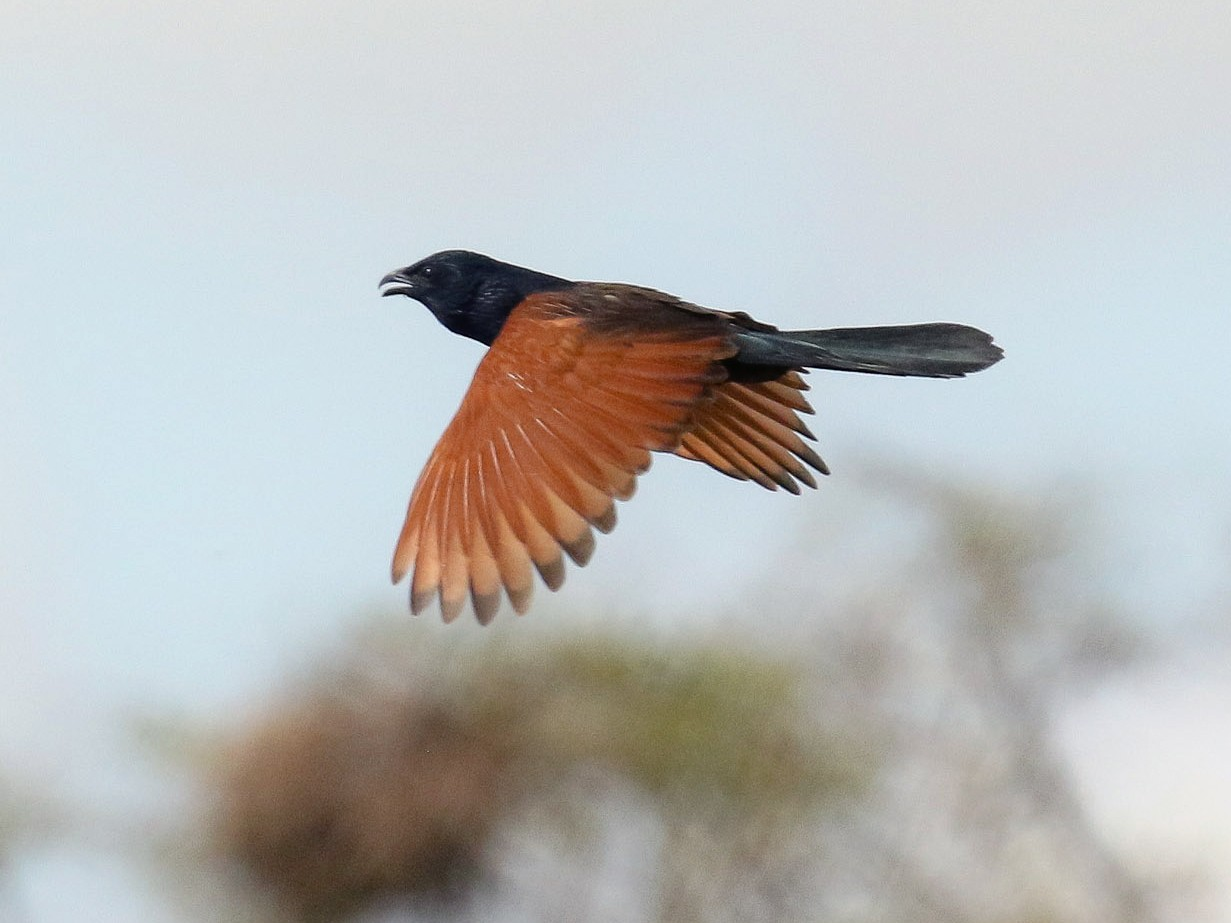 Black Coucal - Michael O'Brien