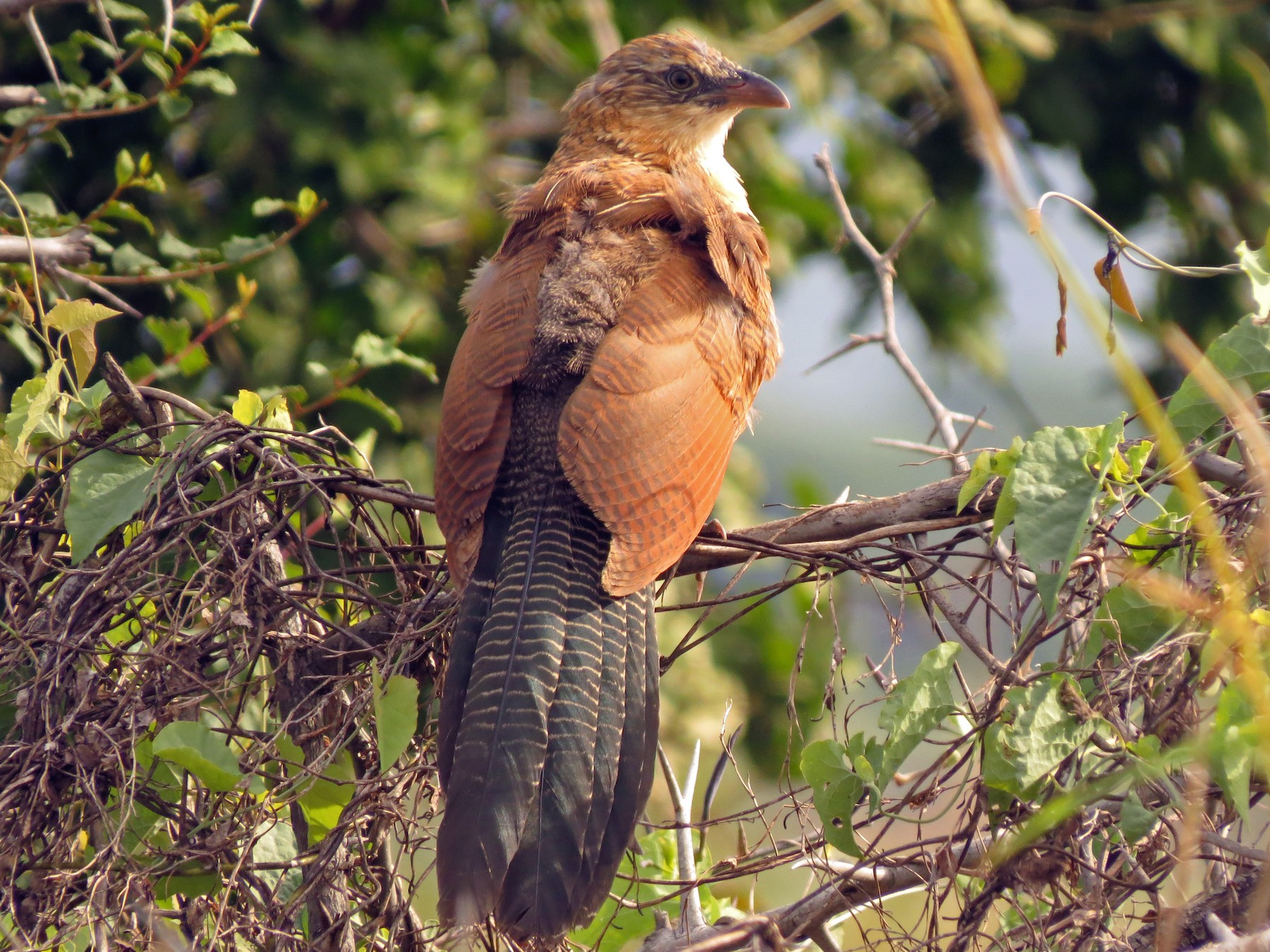 Black Coucal - Christian Cholette