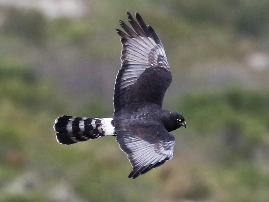 Black Harrier - Andrew Spencer