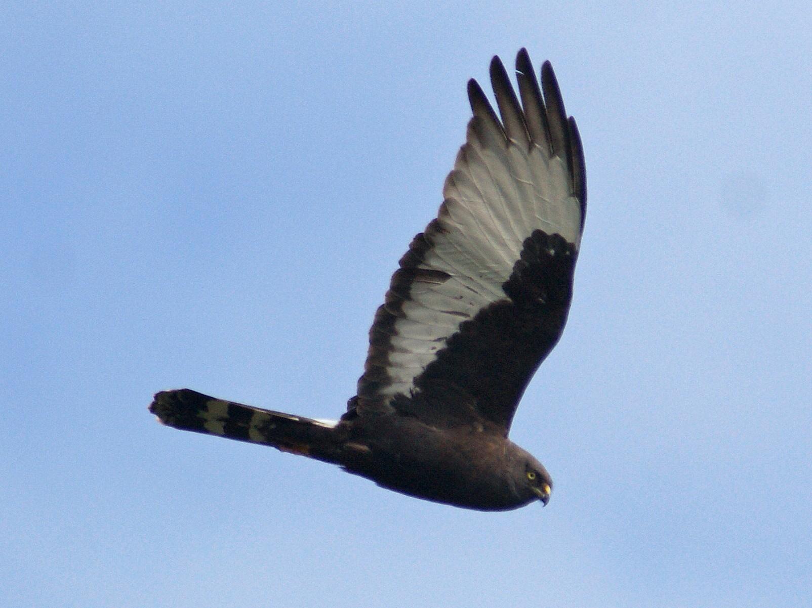 Black Harrier - Ethan Kistler