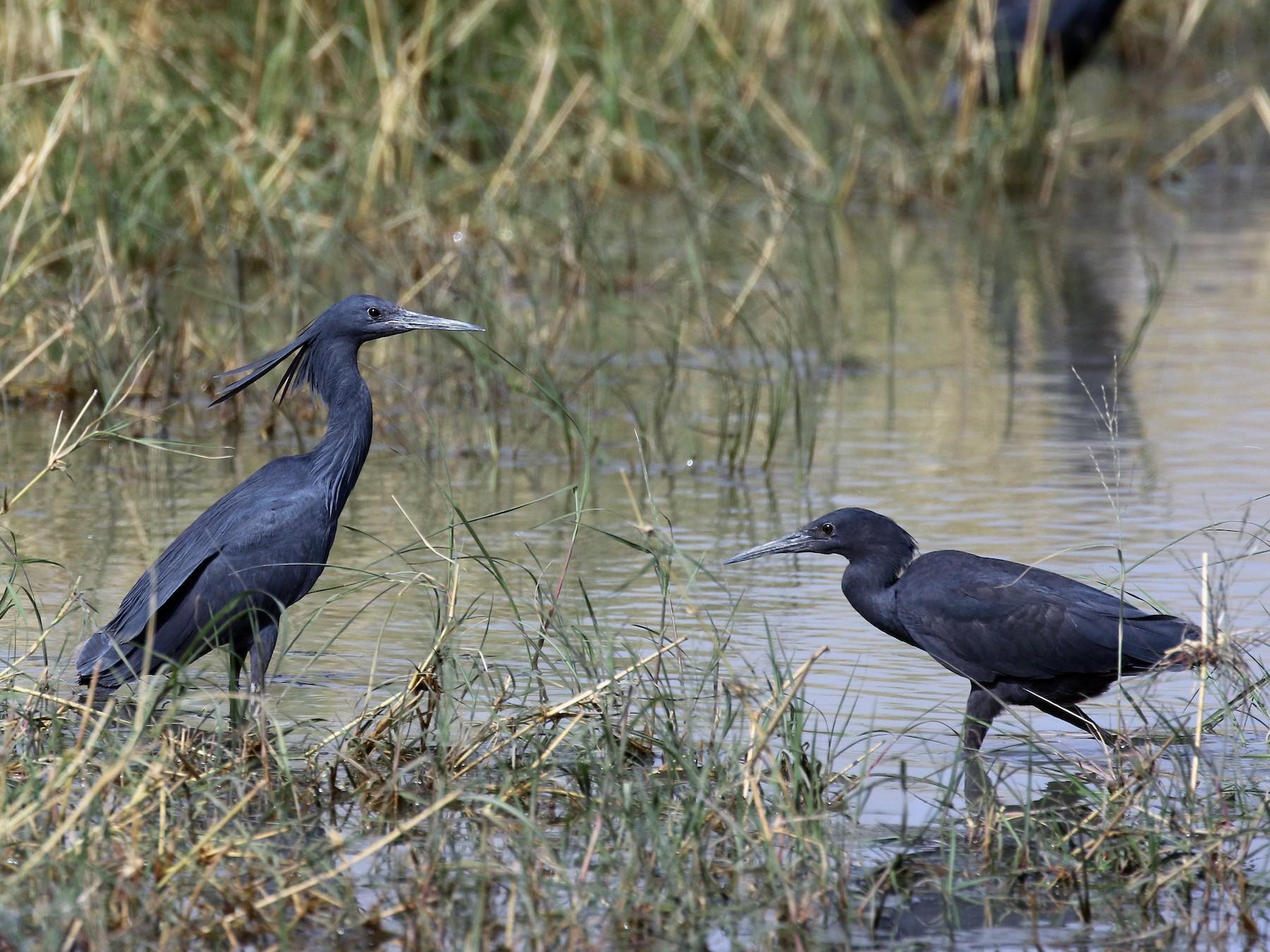 Black Heron - Jay McGowan