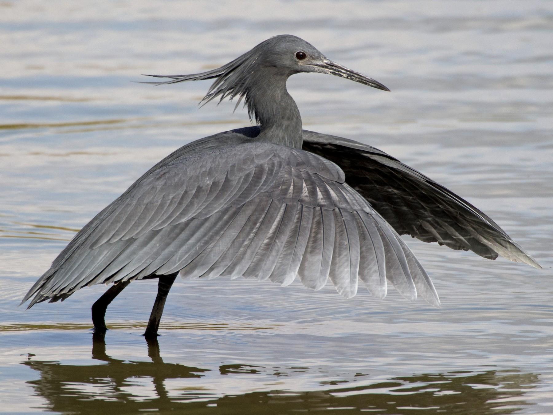 Black Heron - Eric van Poppel