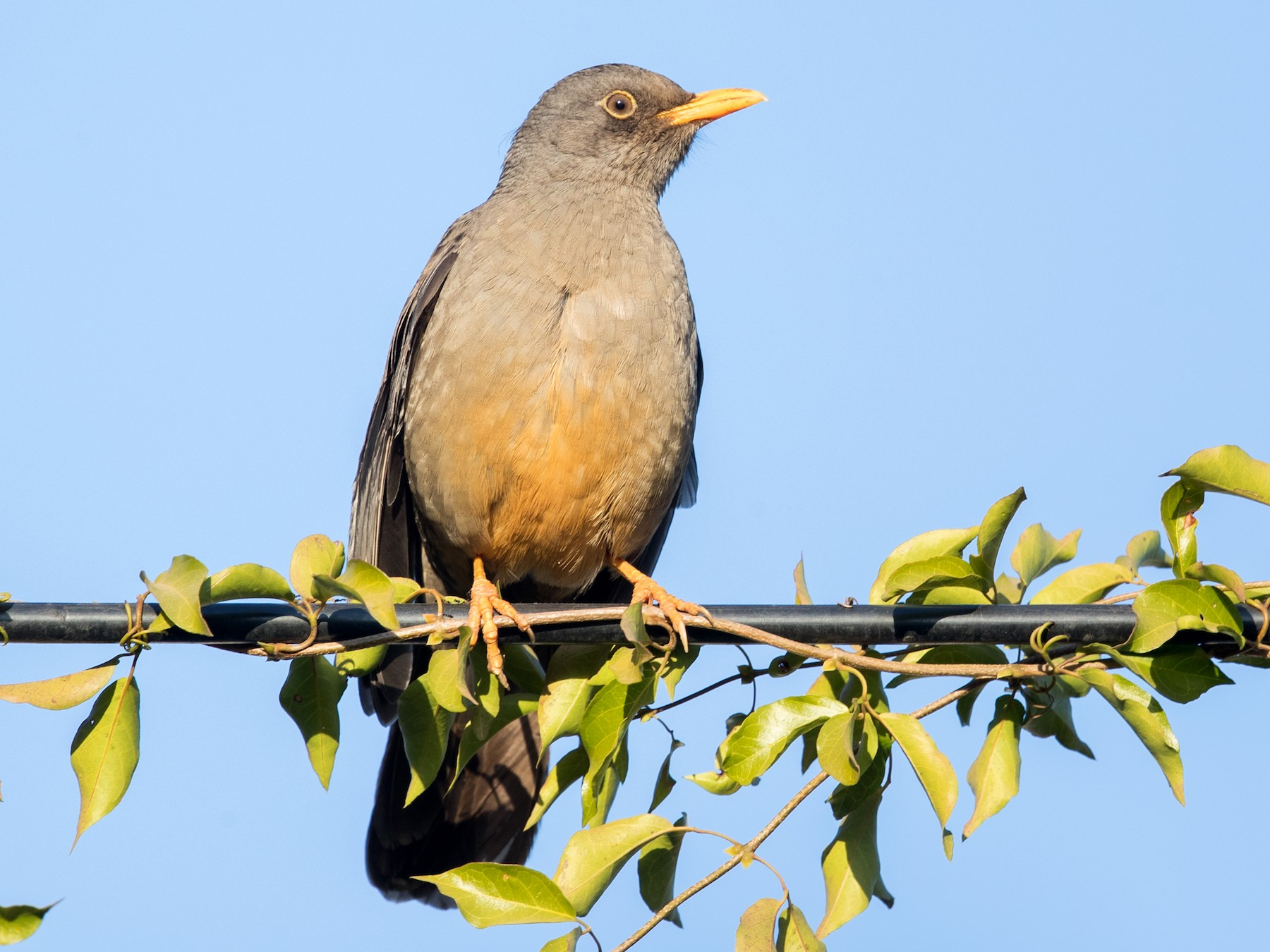 Karoo Thrush - David Irving