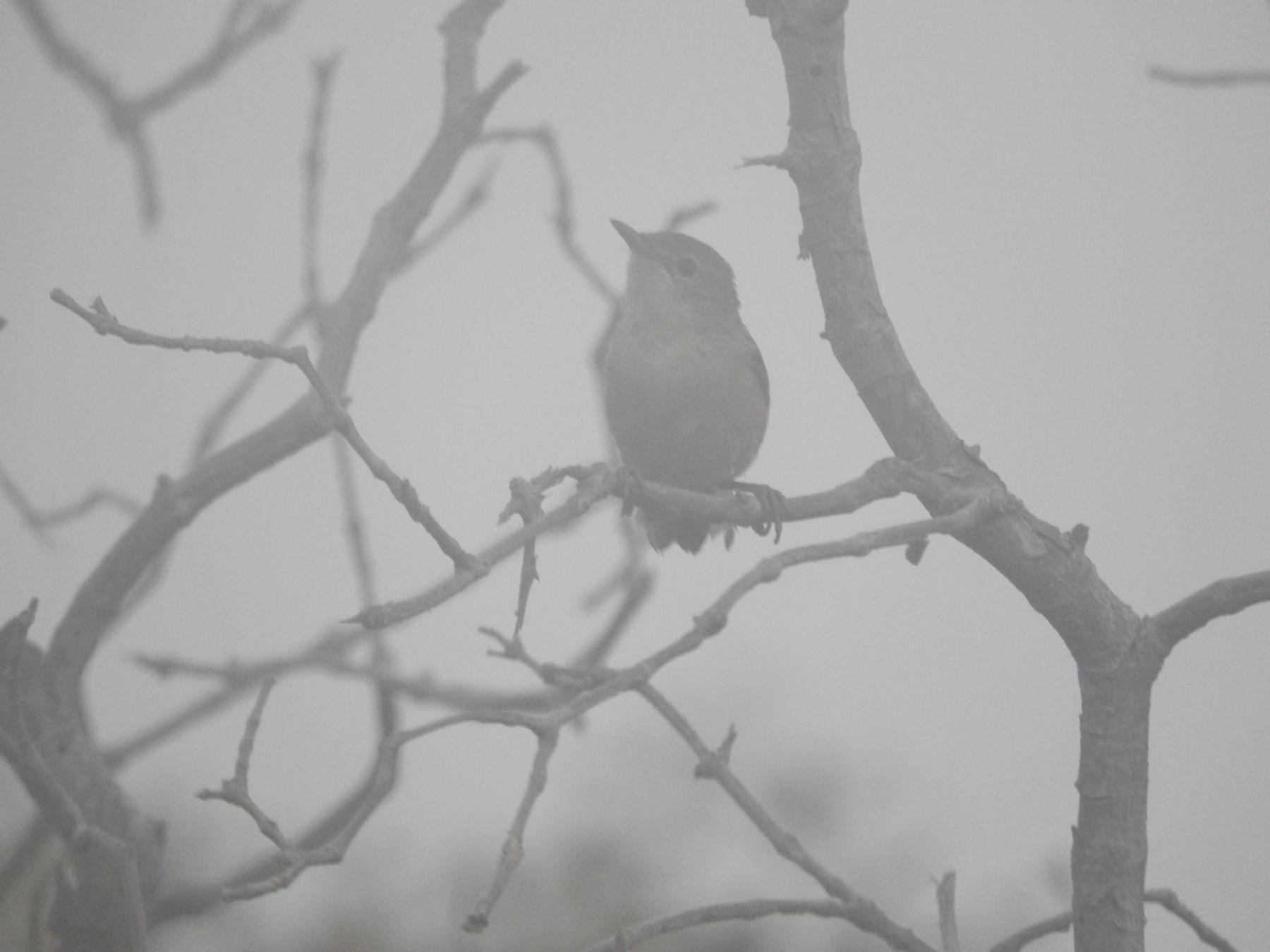 Eurasian Reed Warbler (Mangrove) - Gregory Askew