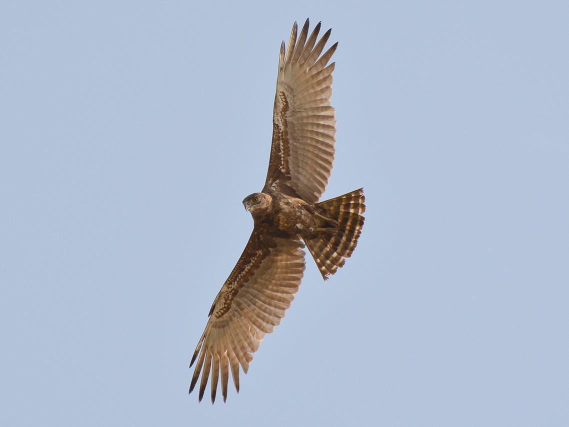 Brown Snake-Eagle - Henry Cook