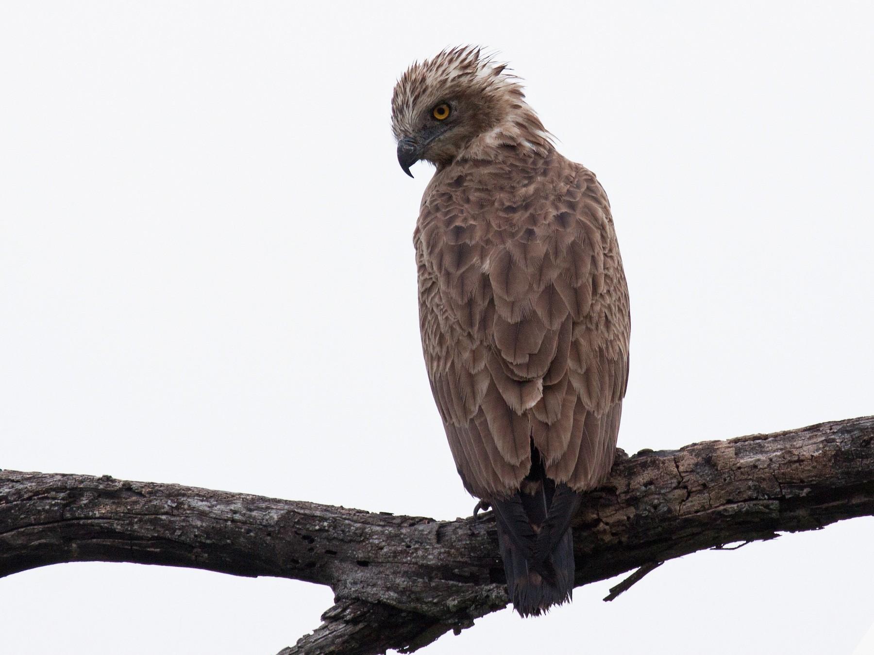 Brown Snake-Eagle - Craig Faulhaber