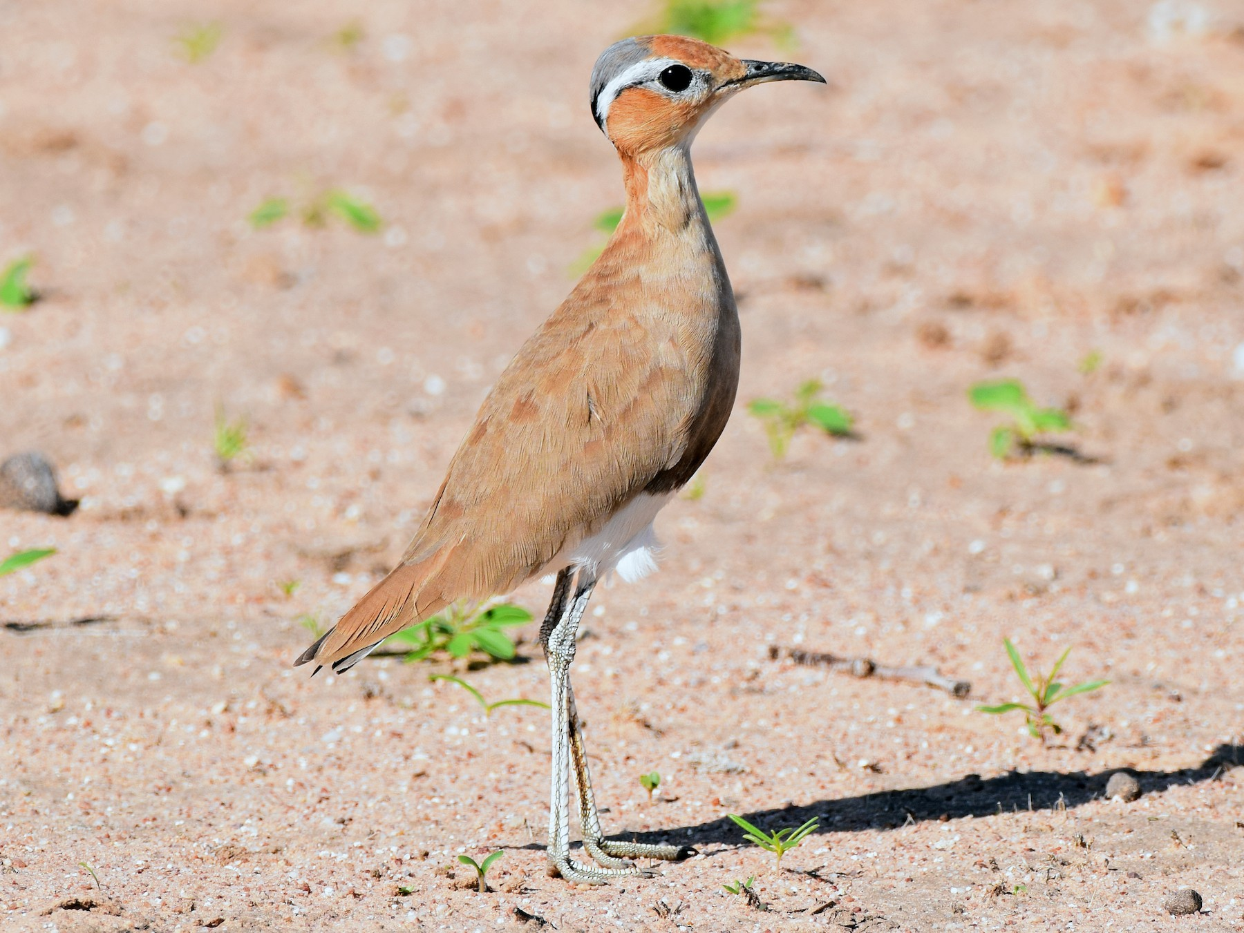 Burchell's Courser - Ryne Rutherford
