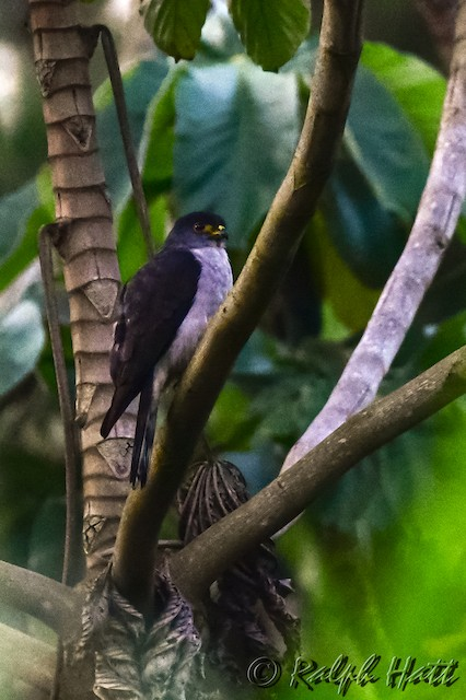 Rufous-thighed Kite