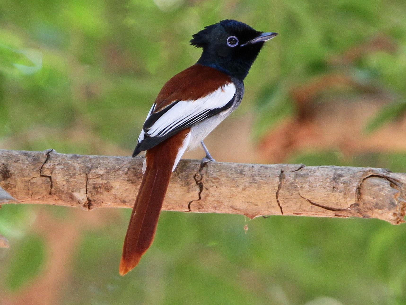 African Paradise-Flycatcher - Christoph Moning
