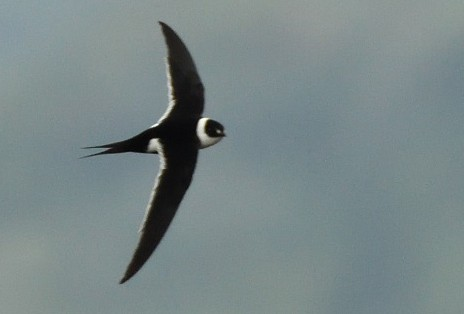 Great Swallow-tailed Swift - Antonio Robles