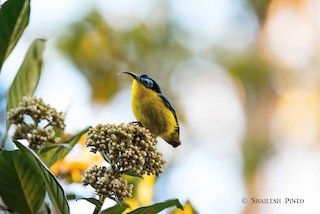 - Yellow-bellied Sunbird-Asity