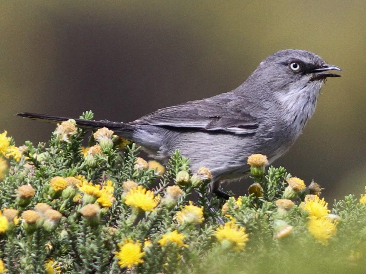 Layard's Warbler - John Martin