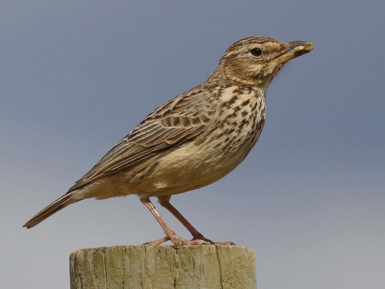 Large-billed Lark - Dave Curtis