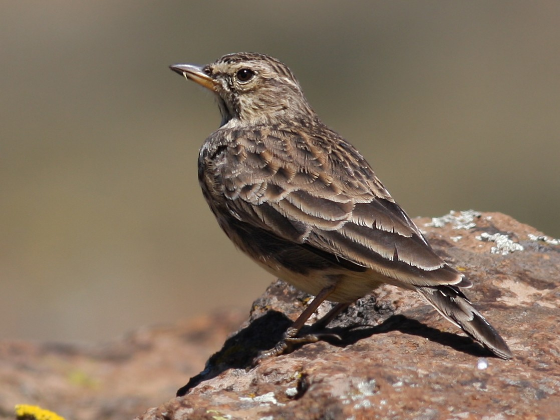Large-billed Lark - Knut Hansen