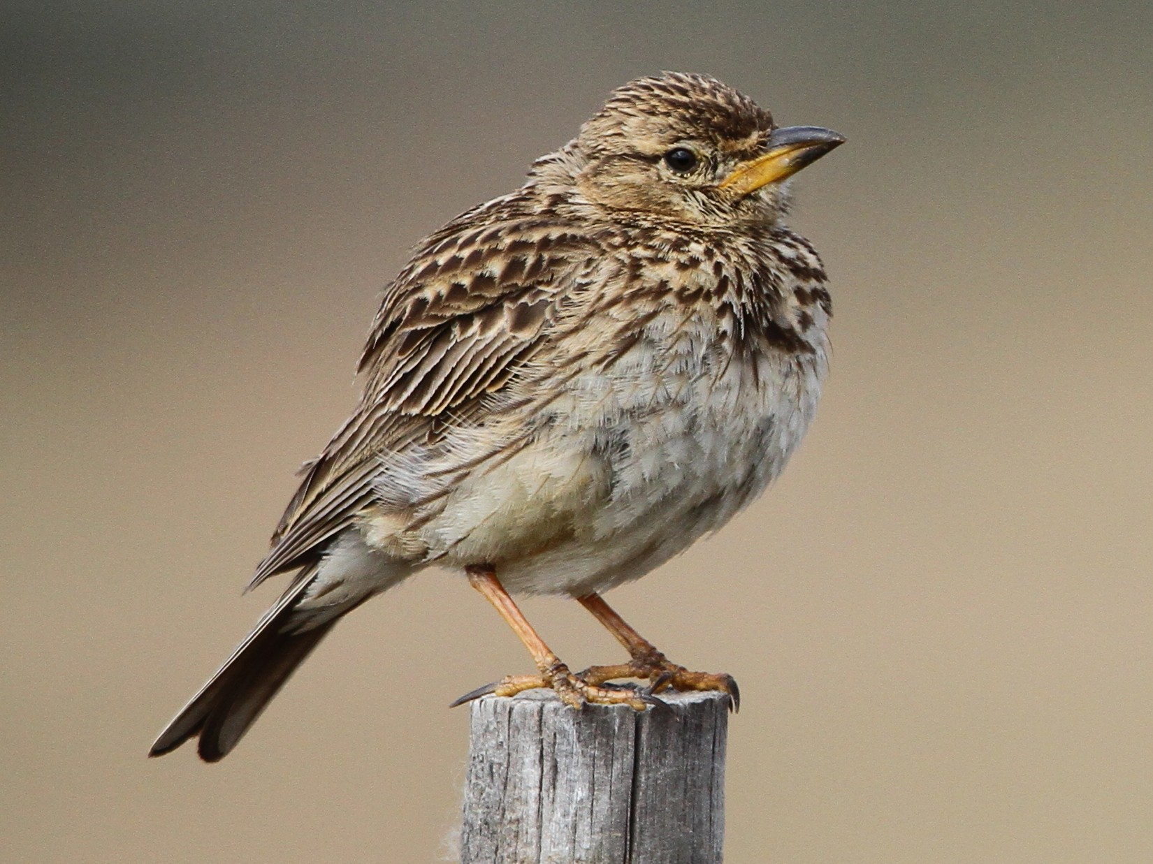 Large-billed Lark - Christoph Moning