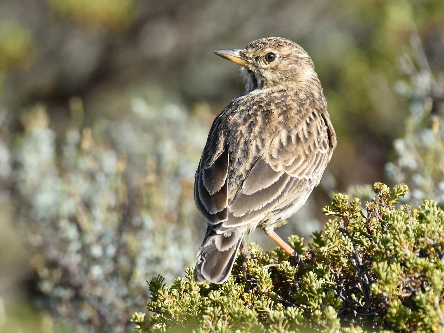 Large-billed Lark - Clayton Burne