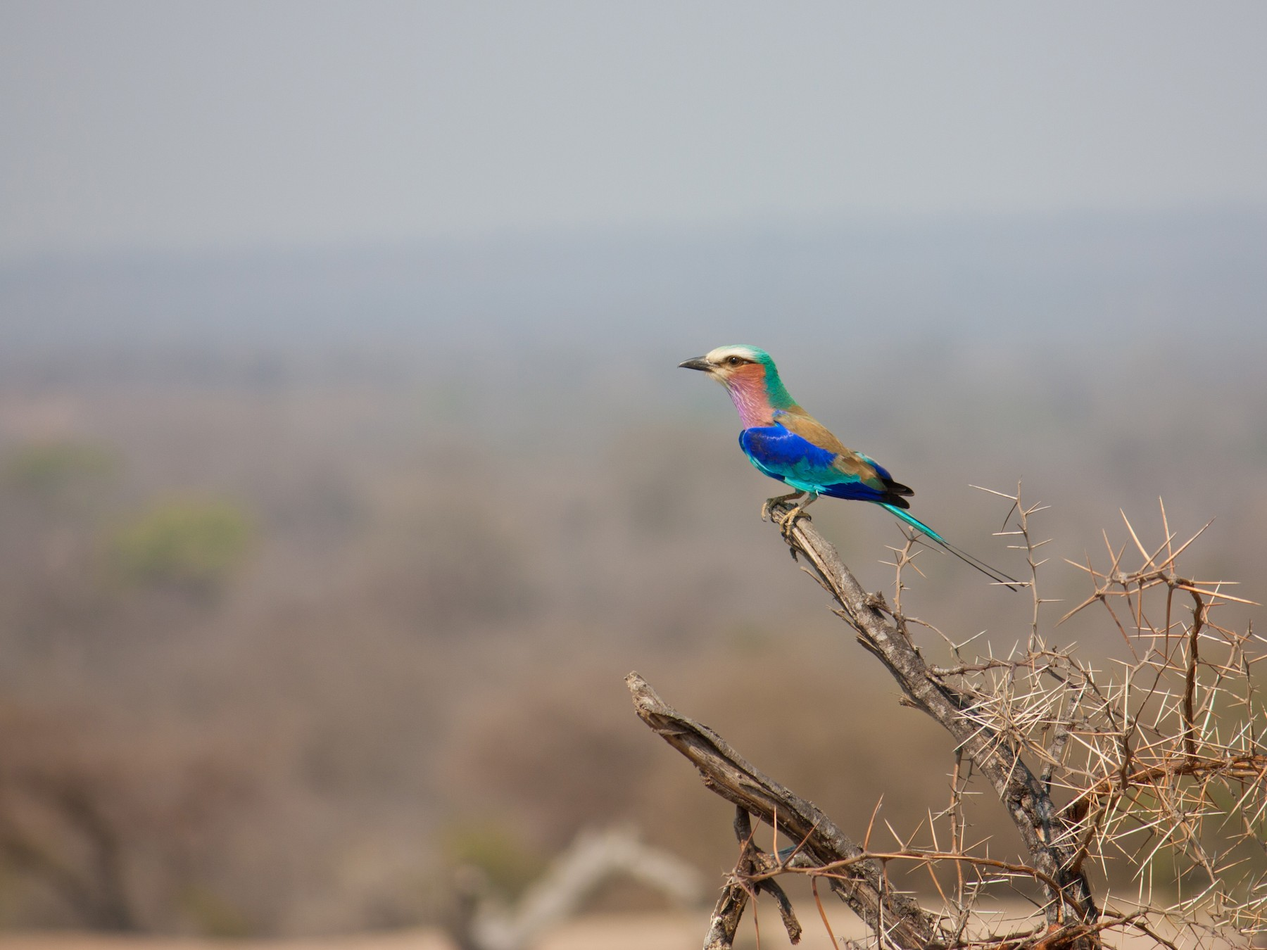 Lilac-breasted Roller - Thomas McPherson