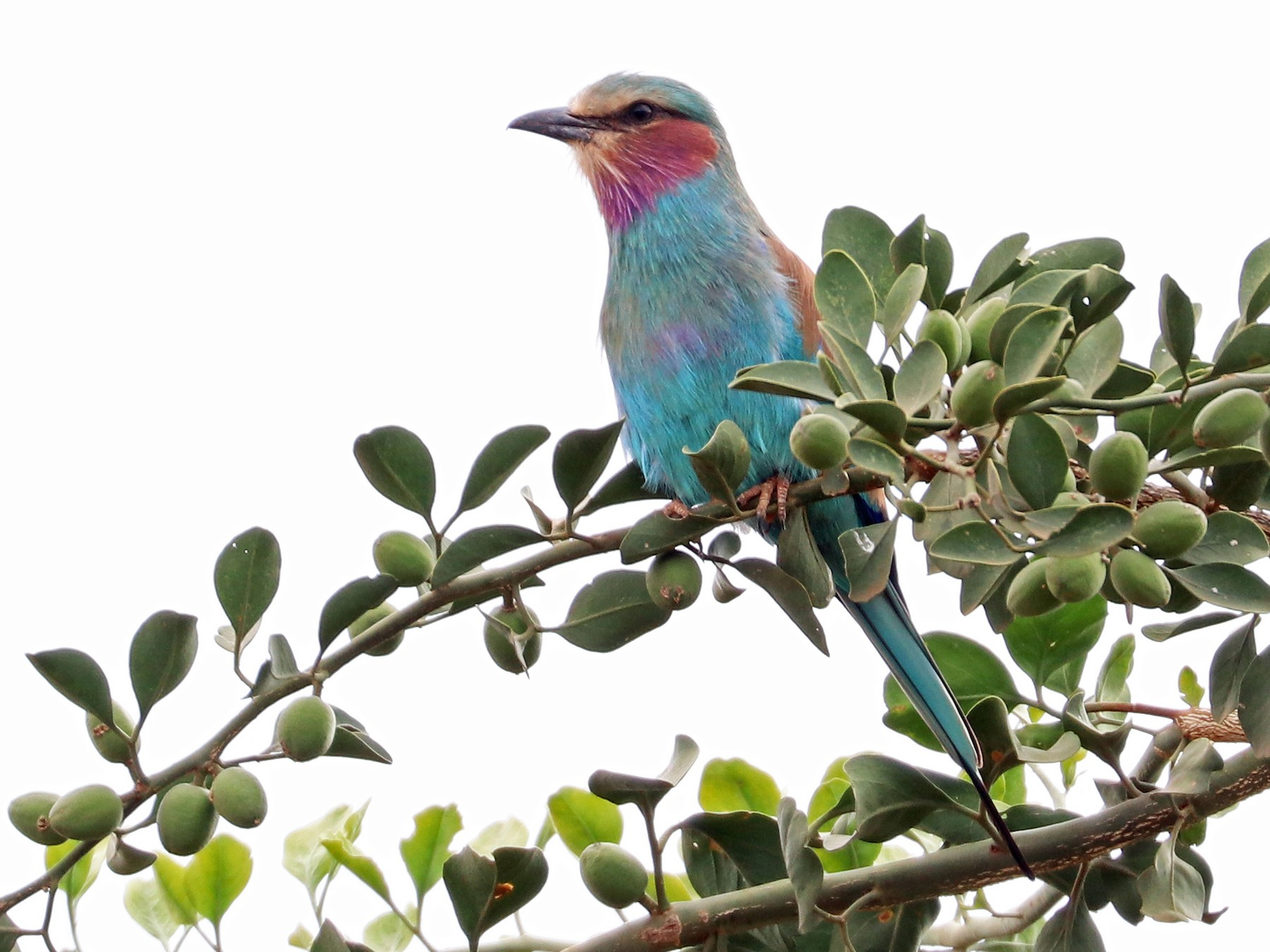 Lilac-breasted Roller - Greg  Griffith